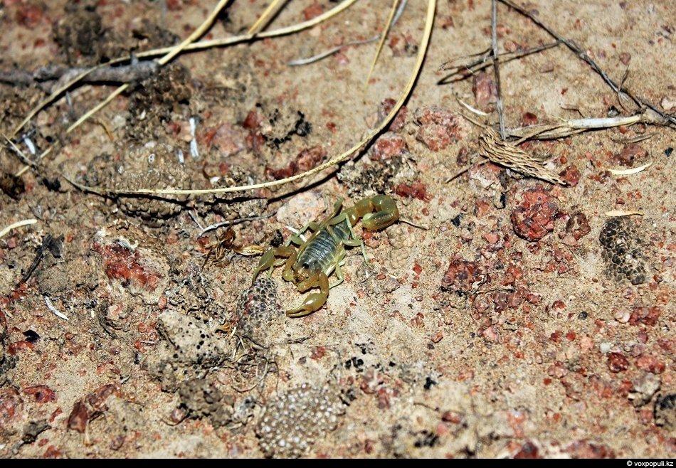 В Алматинской области наиболее распространены три вида скорпионов
