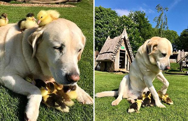 В Британии пёс ухаживает за птенцами-сиротами