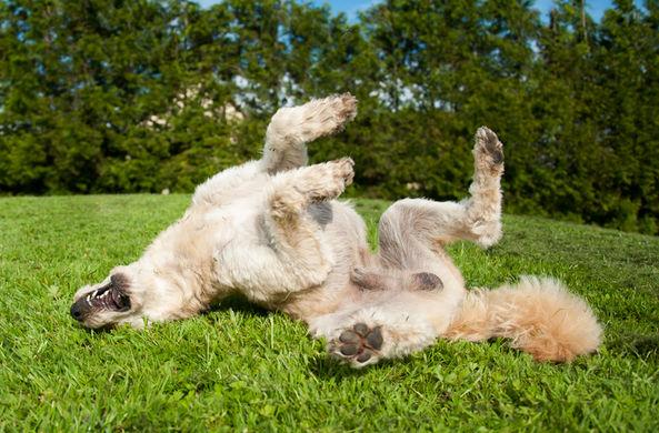 Эксперты объяснили страсть собак к чужим фекалиям