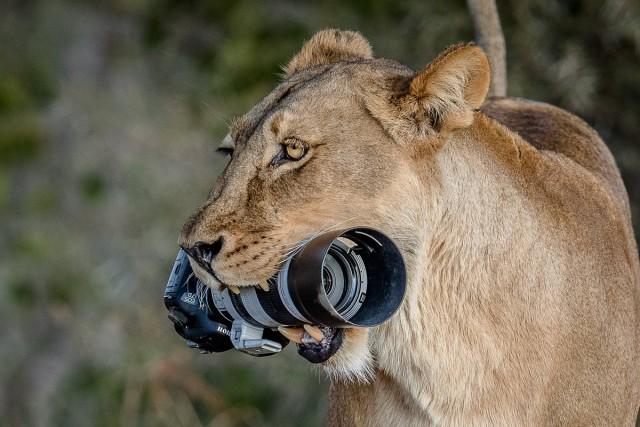 Редчайшие кадры с фотоохоты: как львица утащила зеркалку у фотографа