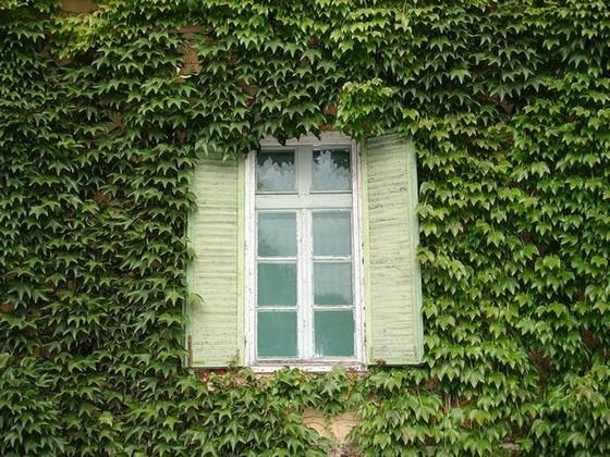 Вьющиеся вечнозеленые растения для фасада