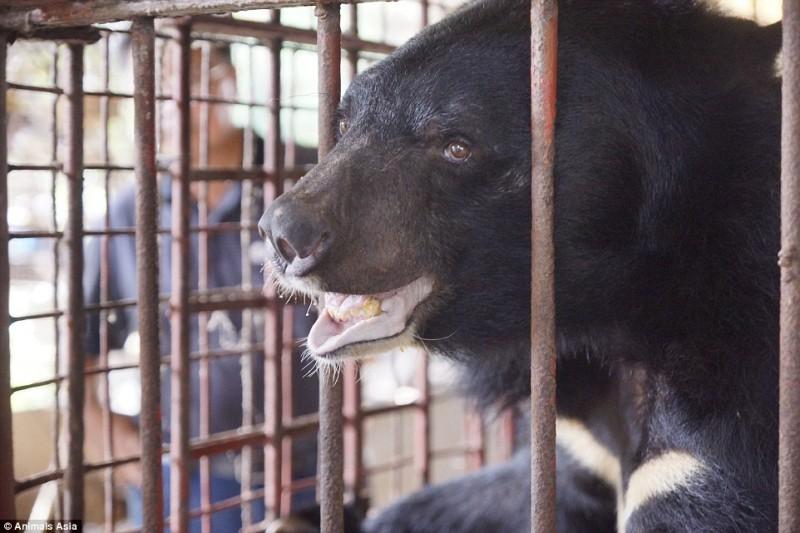 Спасение 5 гималайских медведей, которых держали на ужасных фермах по сбору желчи
