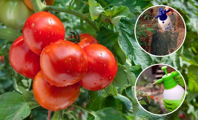: Чем опрыскивать томаты летом