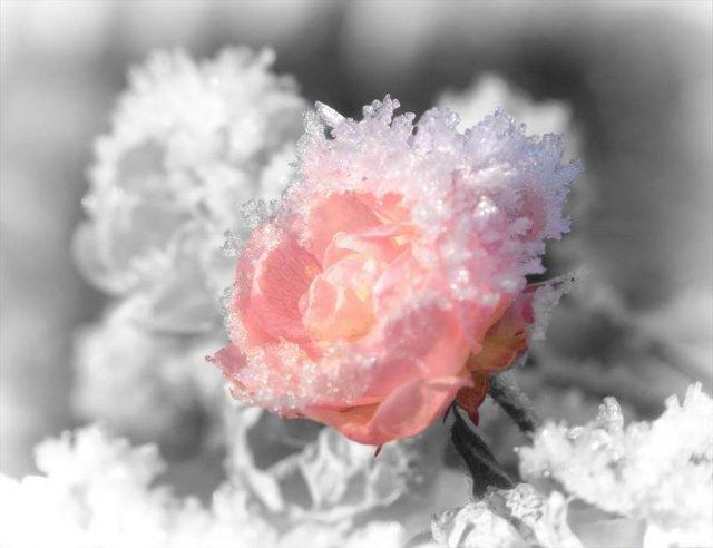 """Роза в снегу :: стихи :: Блог """"Дайте выкрикнуть слова, Что давно лежат в копилке."""