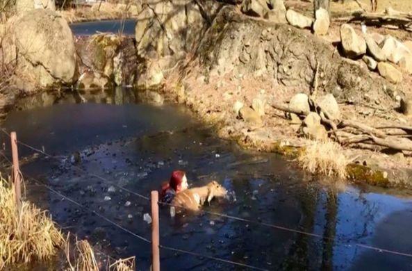 Сотрудница зоопарка спасла антилопу ньялу, провалившуюся под лед