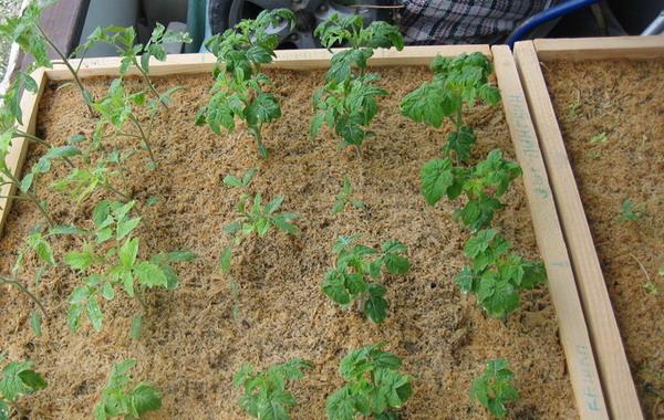 Чем подкармливать рассаду помидор в домашних условиях