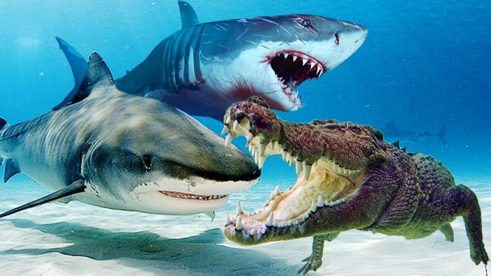 Вражда между крокодилами и акулами идет со времен динозавров.
