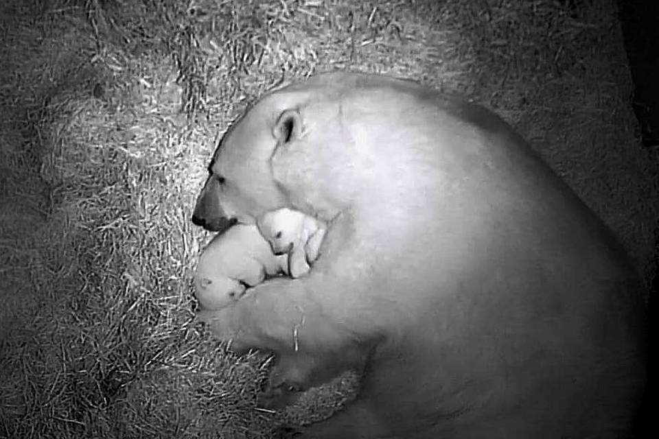Двойная милота: белая медведица из Новосибирского зоопарка втайне родила близнецов