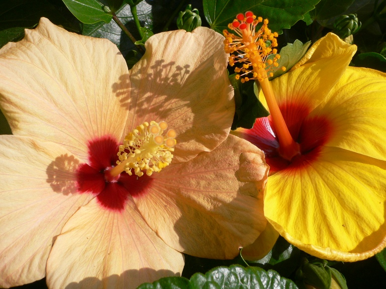 Гибискус - цветок красавиц. Обсуждение на LiveInternet - Российский Сервис Онлайн-Дневников