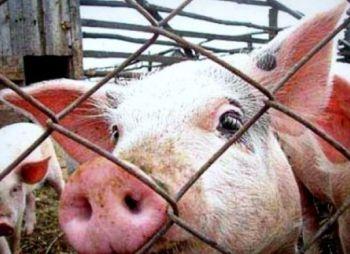 Россия не пустит к себе американских и украинских свиней