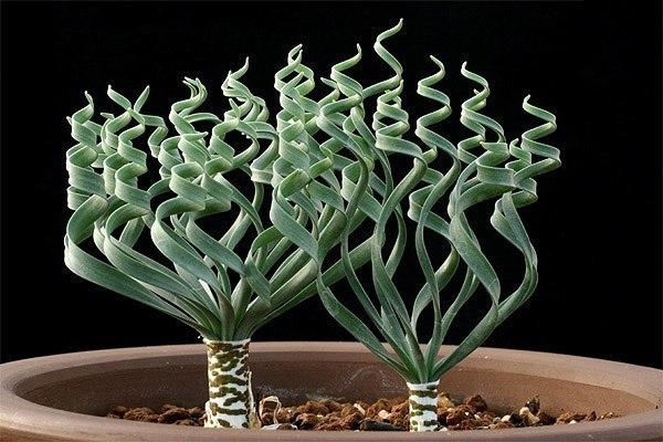 12 дивных комнатных растений