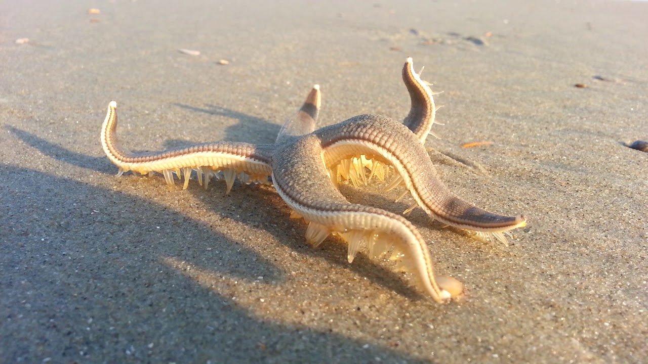 Удивительное существо морская звезда