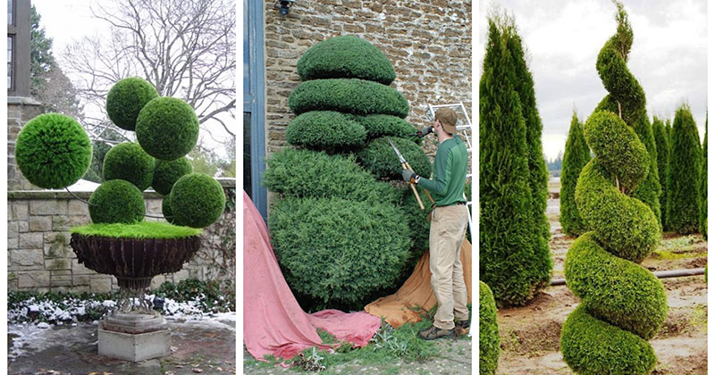 Изюминка вашего сада: фигурная стрижка деревьев