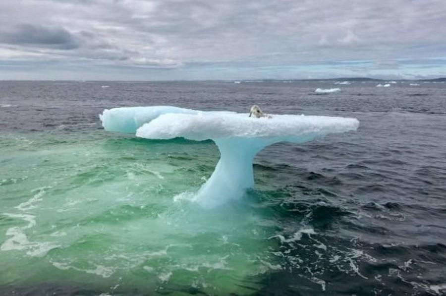 Находка на льдине, или как к маленькому песцу чуть не пришел «полный песец»