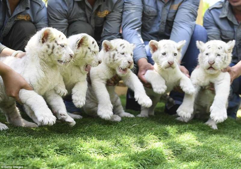 В Китае за раз родилось сразу пятеро редких белых тигрят