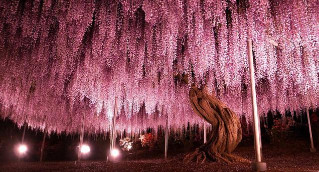 Неземная красота: водопад глициний в Японии
