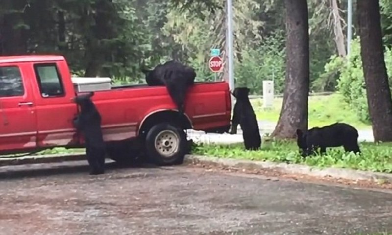 Медведи-грабители разграбили пикап на Аляске
