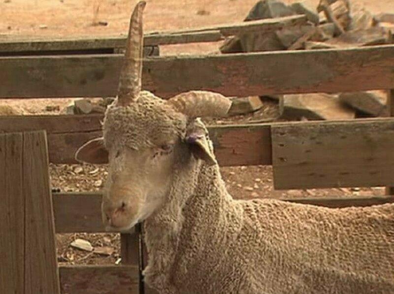 Мужчина спас барана от бойни, потому что он похож на единорога