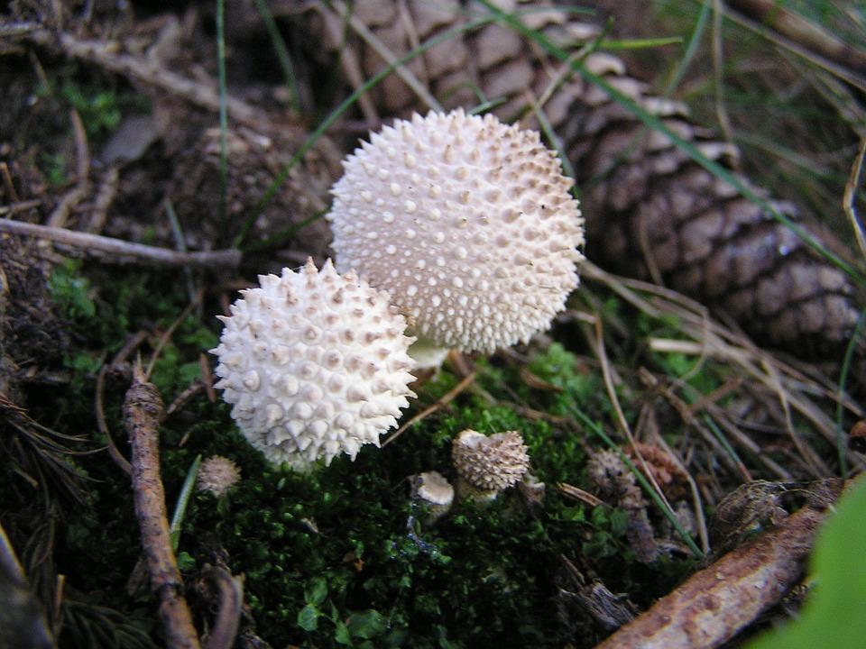 шиповатый дождевик гриб съедобный
