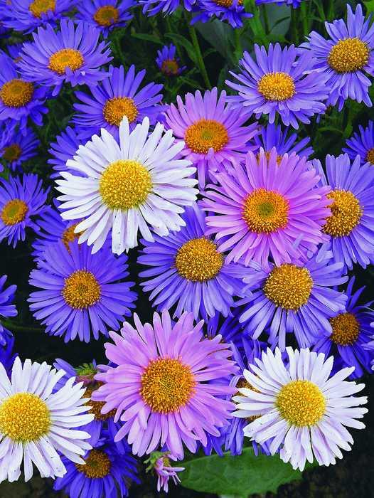МИР РАСТЕНИЙ. Цветок Покрова -- астра многолетняя