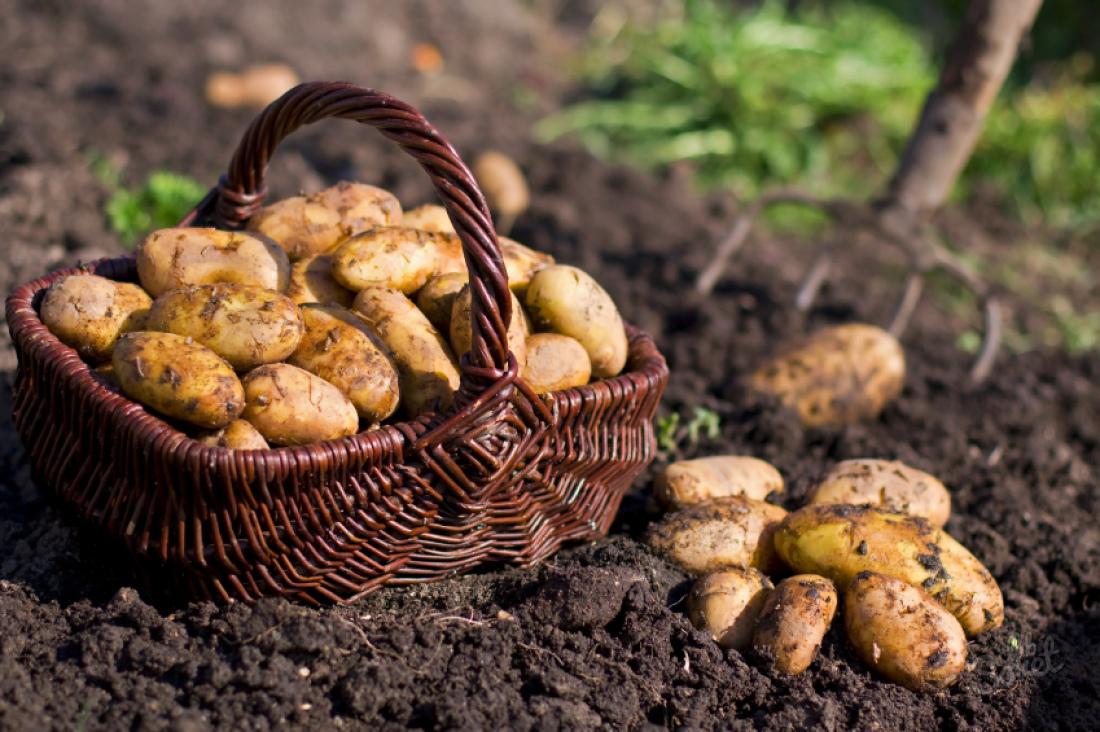 Картошка из семян. Стоит ли игра свеч?
