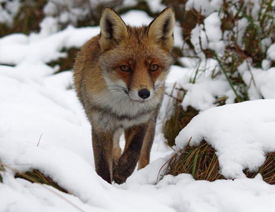 Об охоте на лисичку-сестричку
