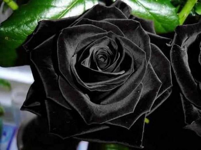 Черные розы деревушки Halfeti
