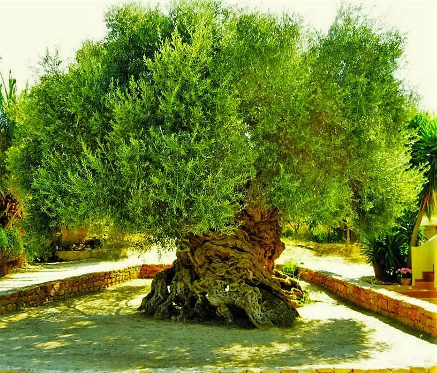 3000-летнее оливковое дерево на острове Крит до сих пор плодоносит