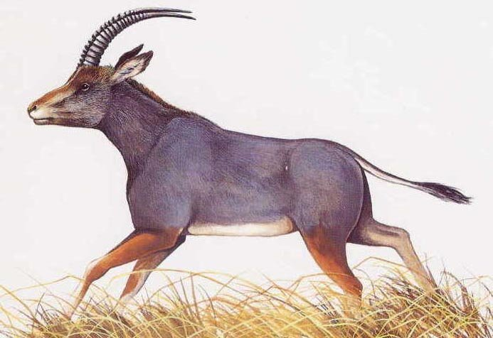 17. Голубая антилопа вымерли, животные, история, человек