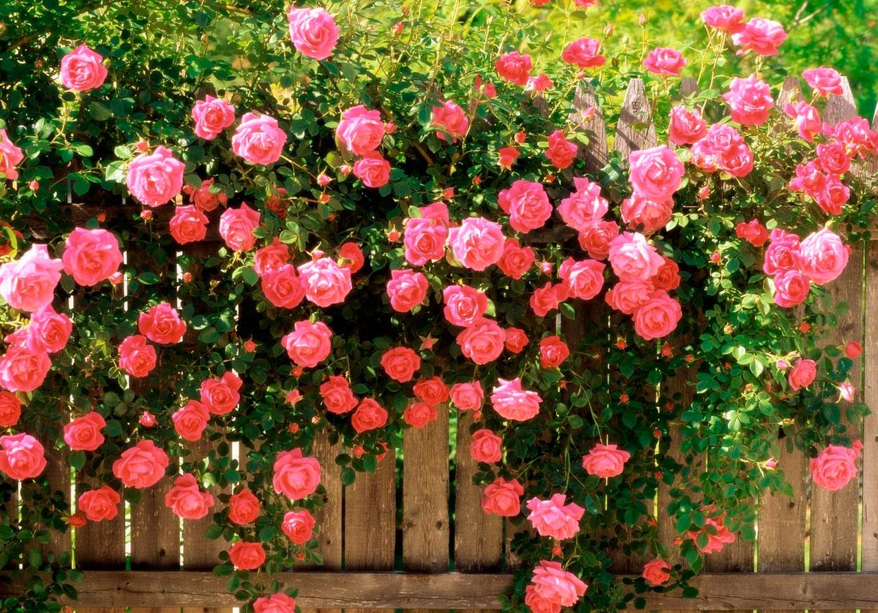 Уход за розами плетистыми