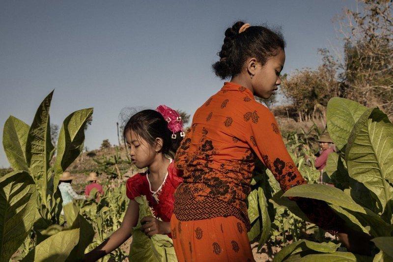 9. Две девочки 11 и 9 лет собирают урожай в Восточнаой Яве Жуткие снимки, Трогает до слёз, дети, детский труд, рабство