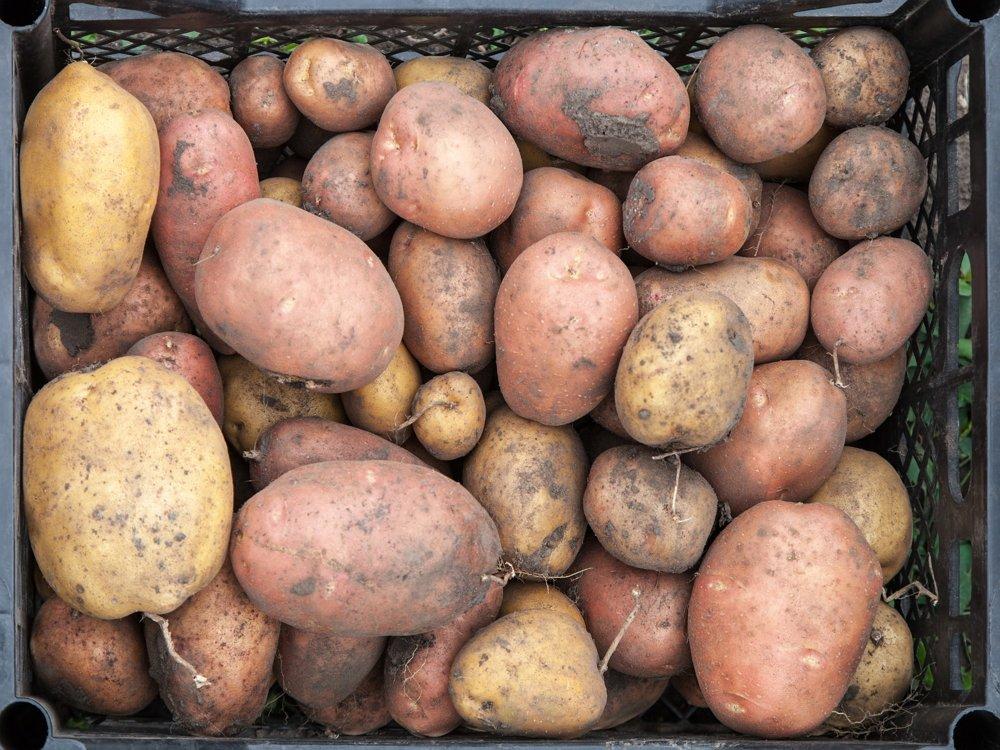 Подготовка к хранению картофеля