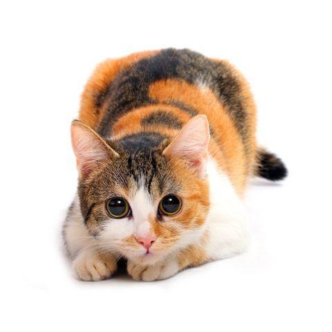 КОШКИН ДОМ. Окрасы кошек. Трехцветная кошка