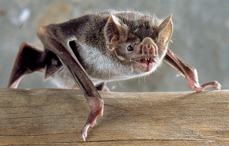 Вампировые летучие мыши, питающиеся кровью позвоночных животных, делятся излишками добытой еды друг с другом / CC BY-SA / Uwe Schmidt.