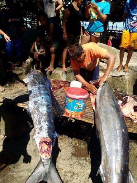 На Филиппинах поймали рыбу в…