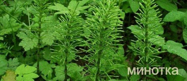 Хвощ полевой — источник здоровья и красивой внешности