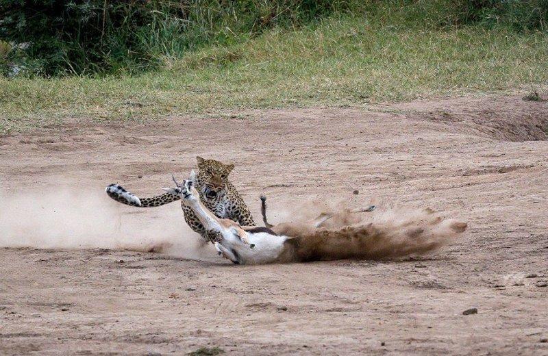 Молниеносная охота: самка леопарда готовит обед для своих детенышей