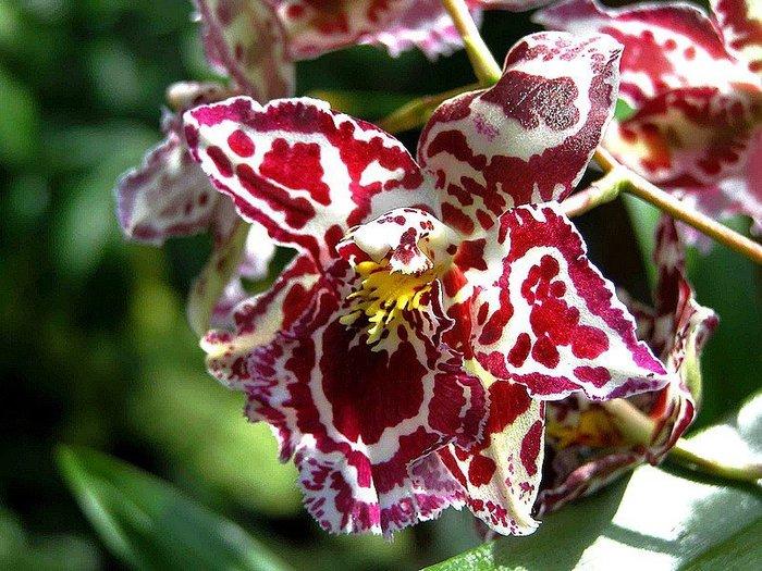 5230261_orhideya17 (700x525, 112Kb)