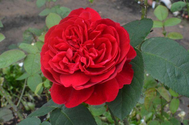 Могут ли розы цвести до зимы?