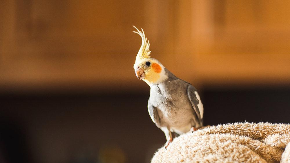 Попугай научился напевать ри…