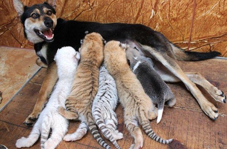 Собака стала мамой для четверых тигрят