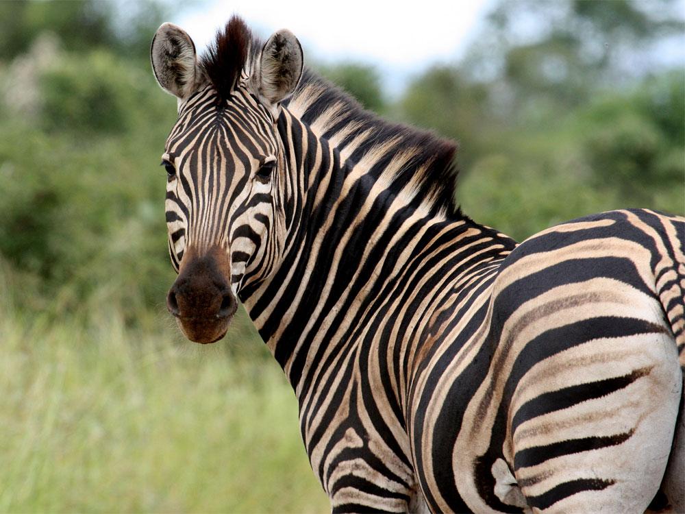 Экспериментально доказано назначение полос у зебры