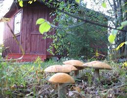 Как вырастить грибы на даче своими руками в открытом грунте?