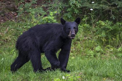 Домашний медведь задрал свое…