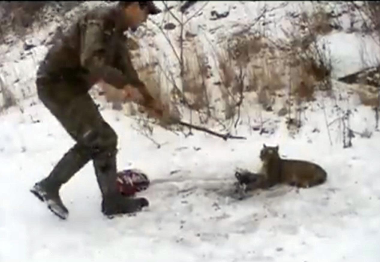 Охотники заметили рысь, кото…