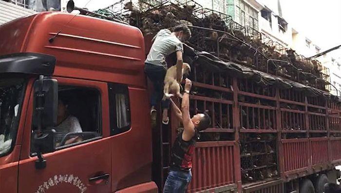В Китае спасли 1000 собак, которых везли на убой китай, собаки, спасли