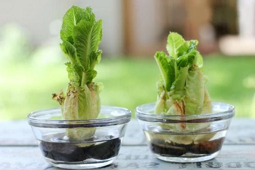 как вырастить латук из кочерыжки