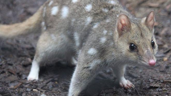 В Австралии впервые за полвека в дикой природе родились редкие кволлы