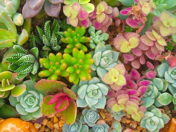 Разнообразие красок суккулентов