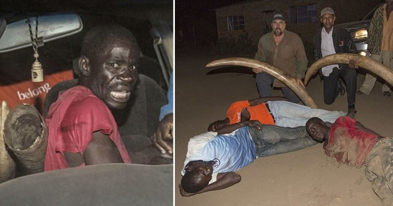 Обезврежены: охотников за слоновой костью заманили в западню